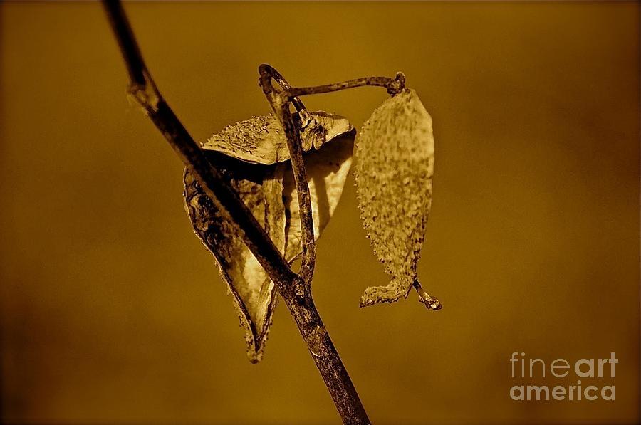 Milkweed Photograph - Milkweed by David  Hubbs
