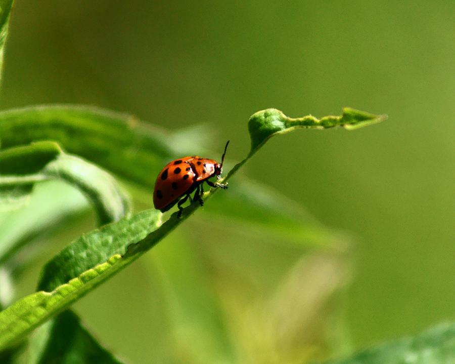 Bug Photograph - Milkweed Tortoise Beetle by Jennifer Kosminskas