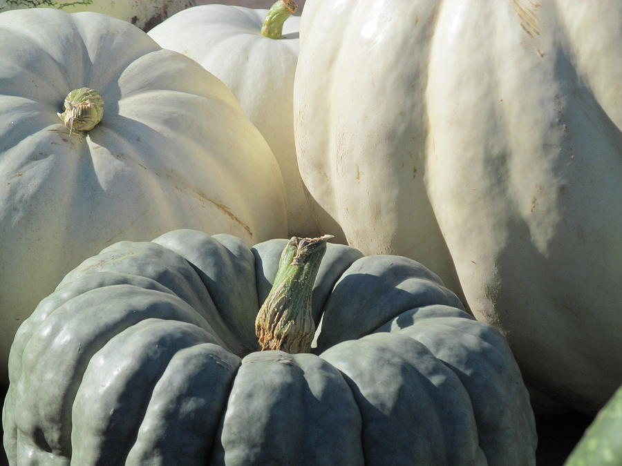 Squash Photograph - Milky Kind by Tina M Wenger