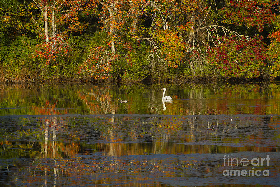 Mill Pond swan and duck by Gene  Marchand
