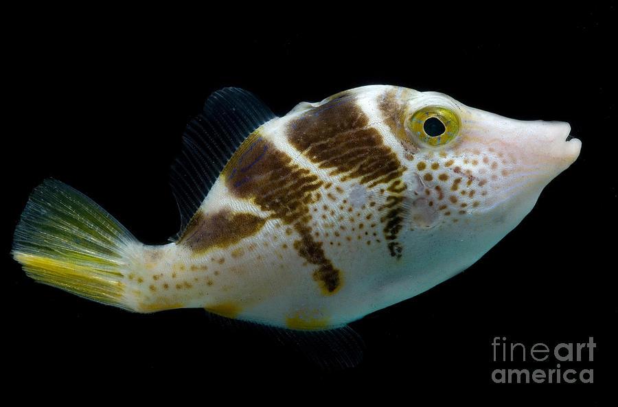Blacksaddle Filefish Photograph - Mimic Saddle Puffer by Dant� Fenolio