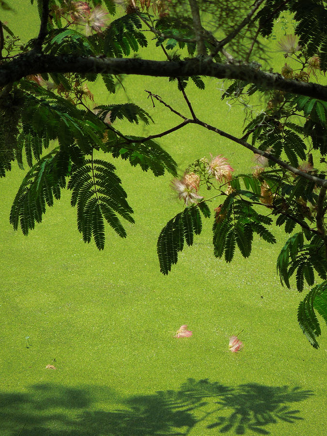 Mimosa Photograph - Mimosa Over Swamp by Peg Toliver