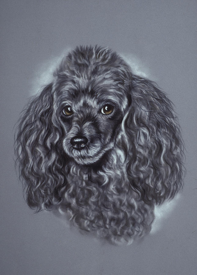 Miniature Poodle Pastel By Patricia Ivy