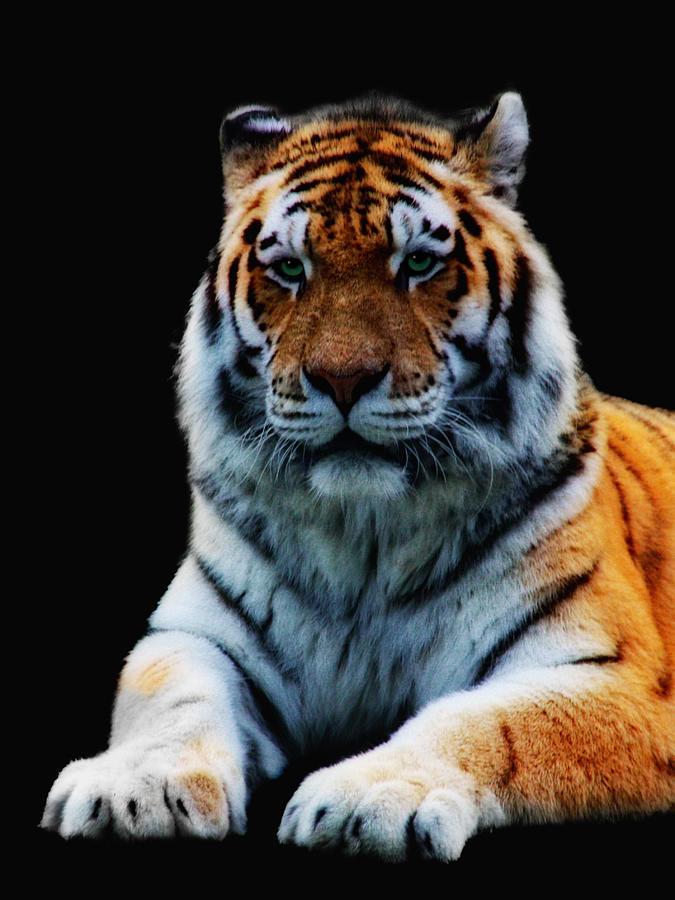 Tiger Photograph - Minou by Claudia Moeckel