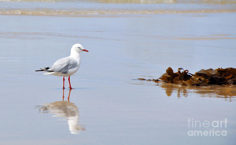 Photography Photograph - Mirrored Seagull by Kaye Menner