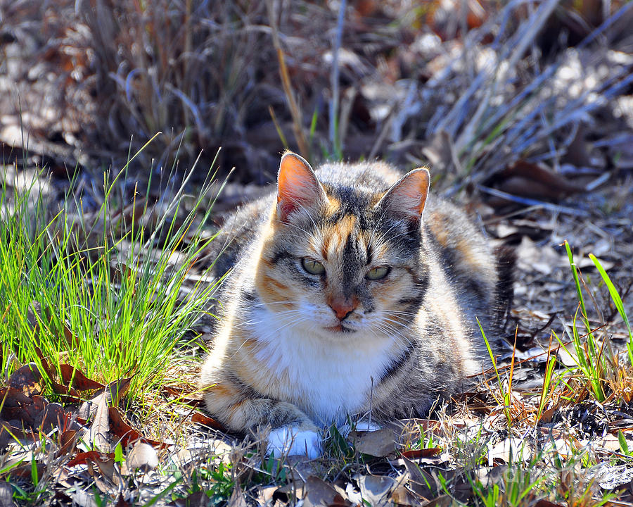 Cat Photograph - Miss Kitty by Al Powell Photography USA