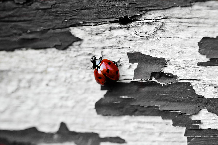 Ladybug Photograph - Miss Red by Elizabeth Hart