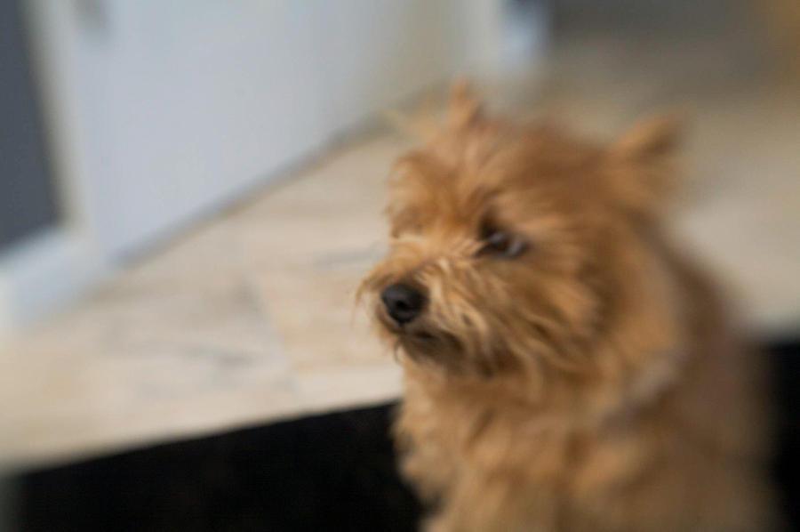 Norwich Terrier Digital Art - Missing You  by Susan Stone