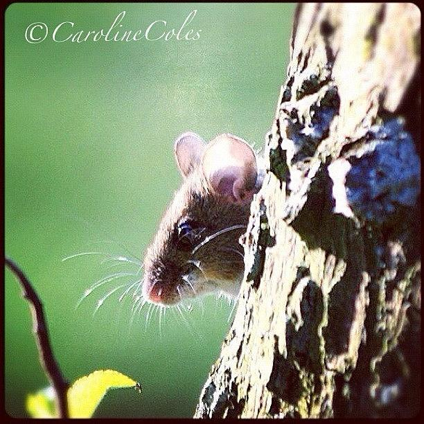 Nationalgeographic Photograph - Missy Mouse In The Apple Tree - This by Caroline Coles