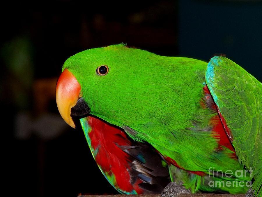 Eclectus Parrot Photograph - Mister Eclectus Parrot by Donna Parlow