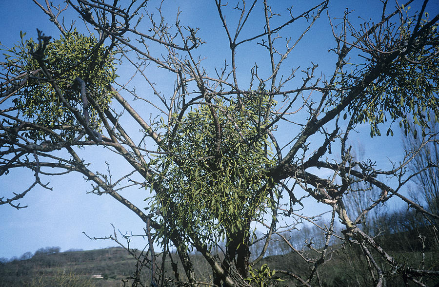 Viscum Album Photograph - Mistletoe On A Tree by Archie Young