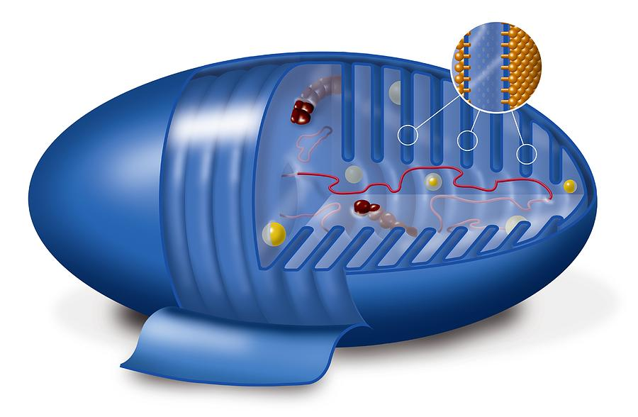 Mitochondrion Photograph - Mitochondrion, Artwork by Art For Science