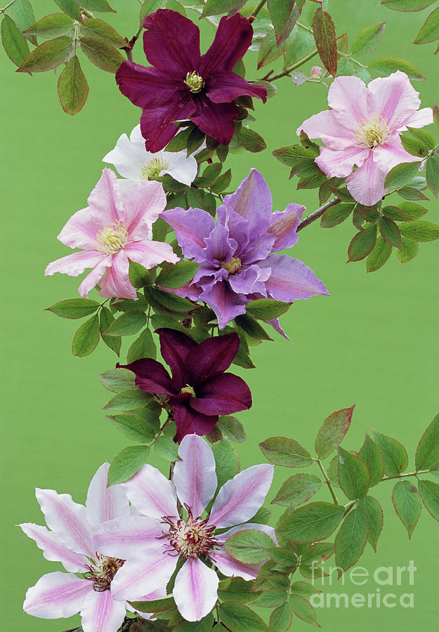 Nellie Moser Photograph - Mixed Clematis Flowers by Archie Young