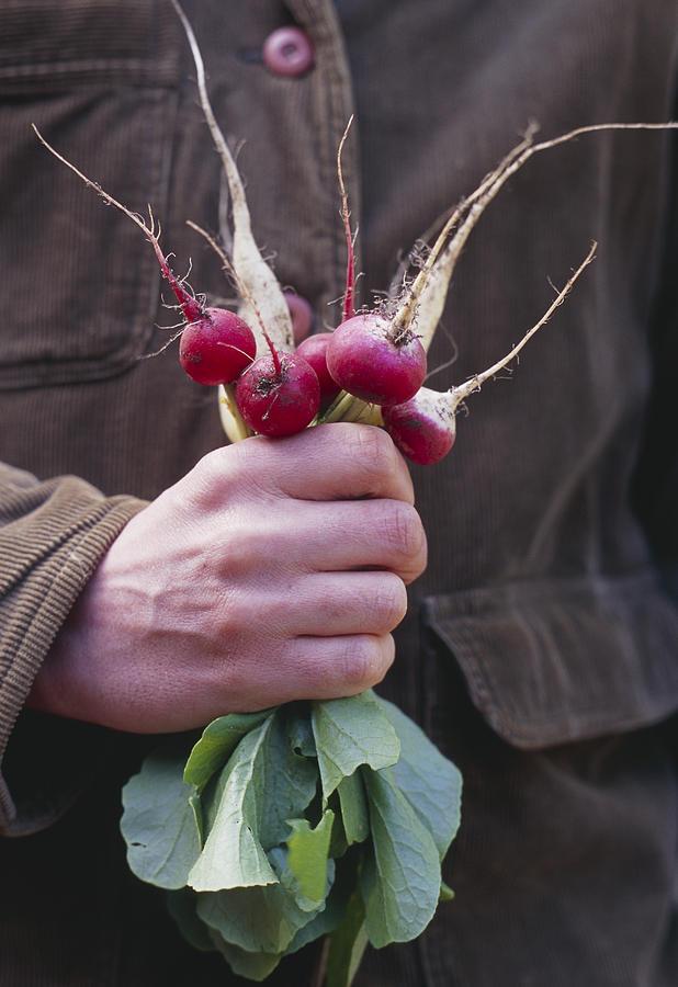 Raphanus Sativus Photograph - Mixed Organic Radishes by Maxine Adcock