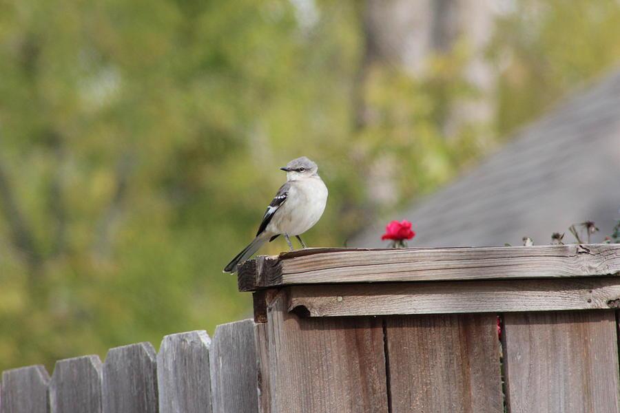 Bird Photograph - Mockinbird And Red Rose by Alain roger  Fotso dada