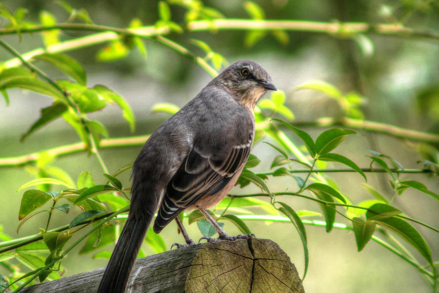 Outdoor Photograph Photograph - Mocking Bird by Ester  Rogers