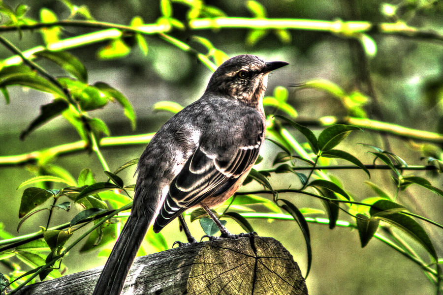 Outdoor Photograph Photograph - Mocking Bird Picture 2 by Ester  Rogers