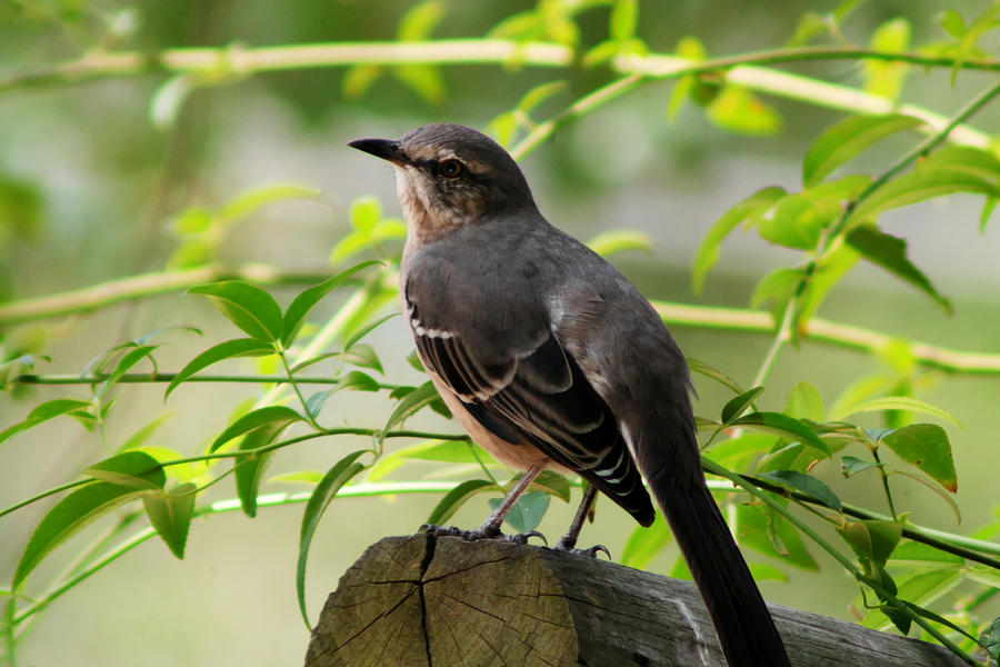 Outdoor Photograph - Mocking Bird Picture 3 by Ester  Rogers
