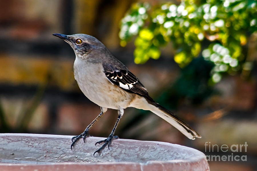 Arizona Photograph - Mocking Bird by Robert Bales