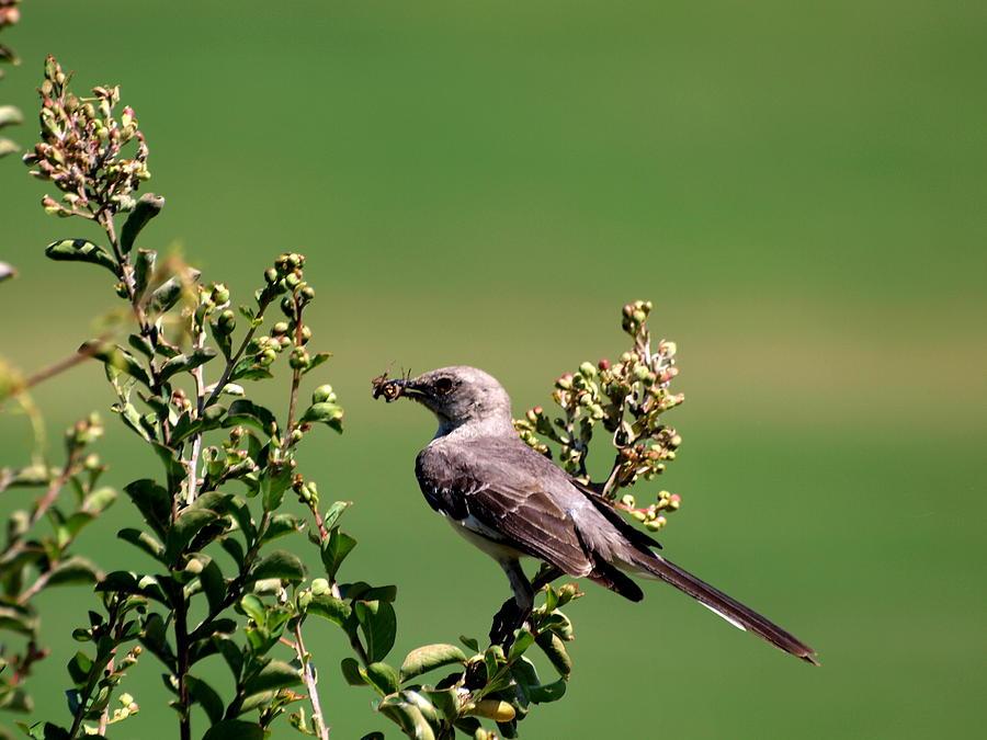Mockingbird Photograph - Mocking with Spider by Joshua House