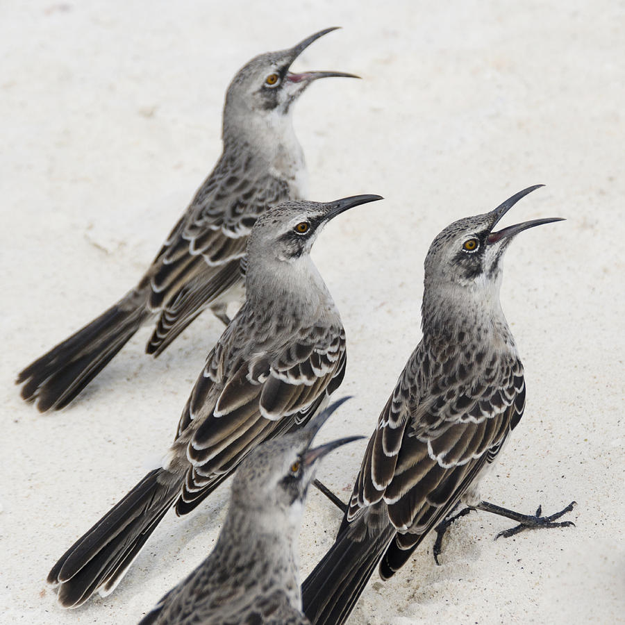 Animals In The Wild Photograph - Mockingbirds Mimidae Galapagos, Equador by Keith Levit