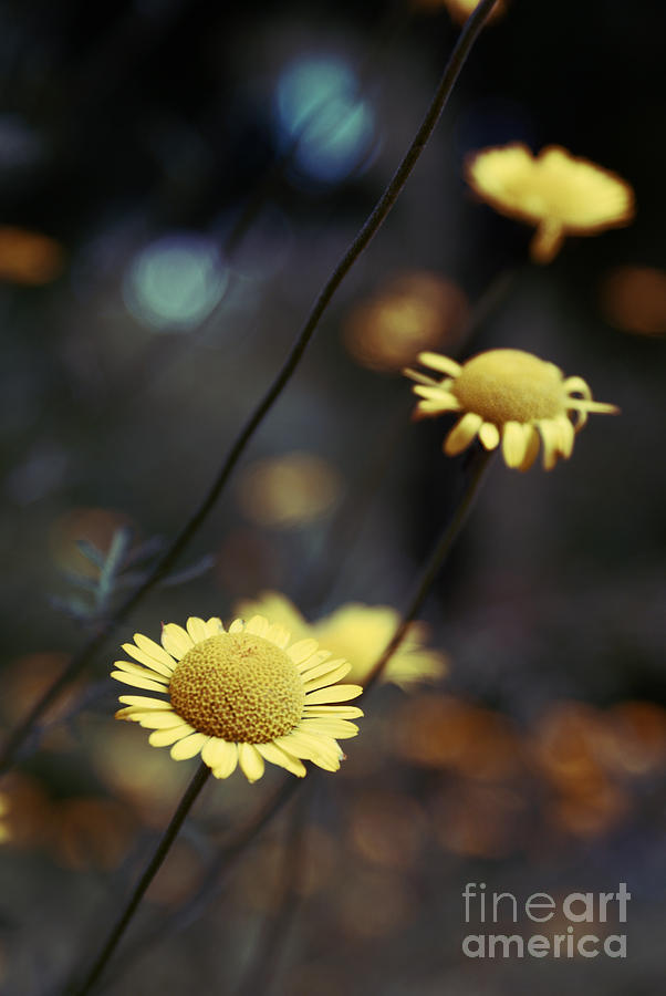 Daisies Photograph - Momentum 01-02a by Variance Collections