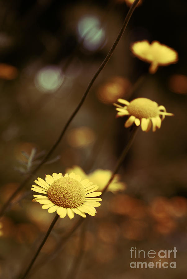 Daisies Photograph - Momentum 03a by Variance Collections
