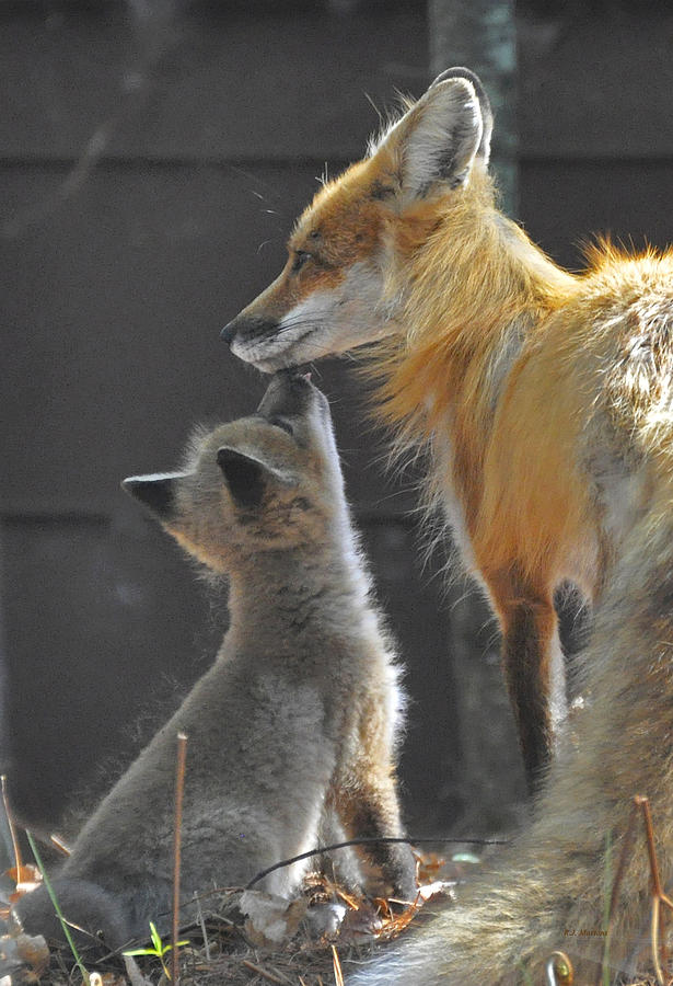 Fox Photograph - Momma Love by RJ Martens