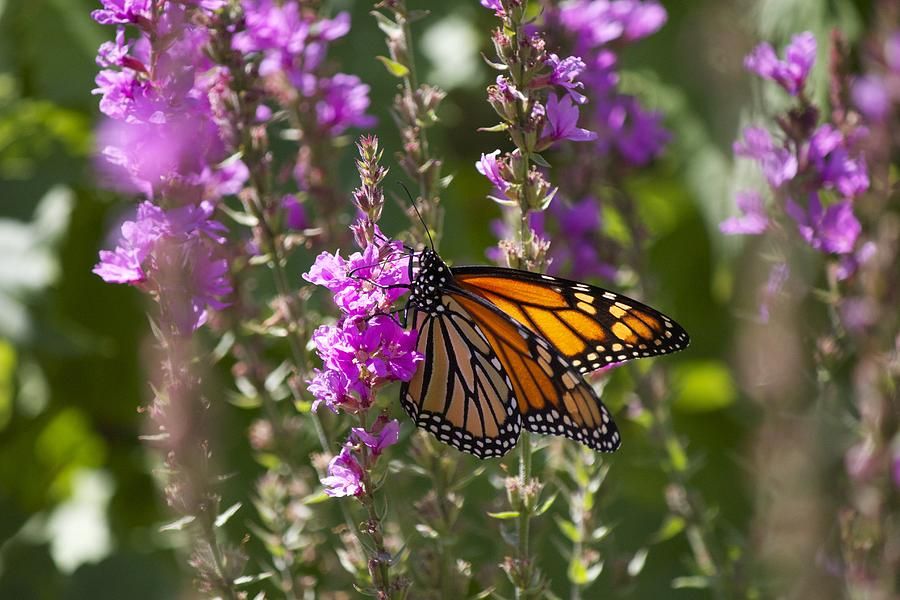 Butterfly Photograph - Monarch 2 by Michel DesRoches