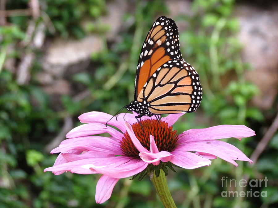 Flower Photograph - Monarch And Echinacea by Sarah Burrin