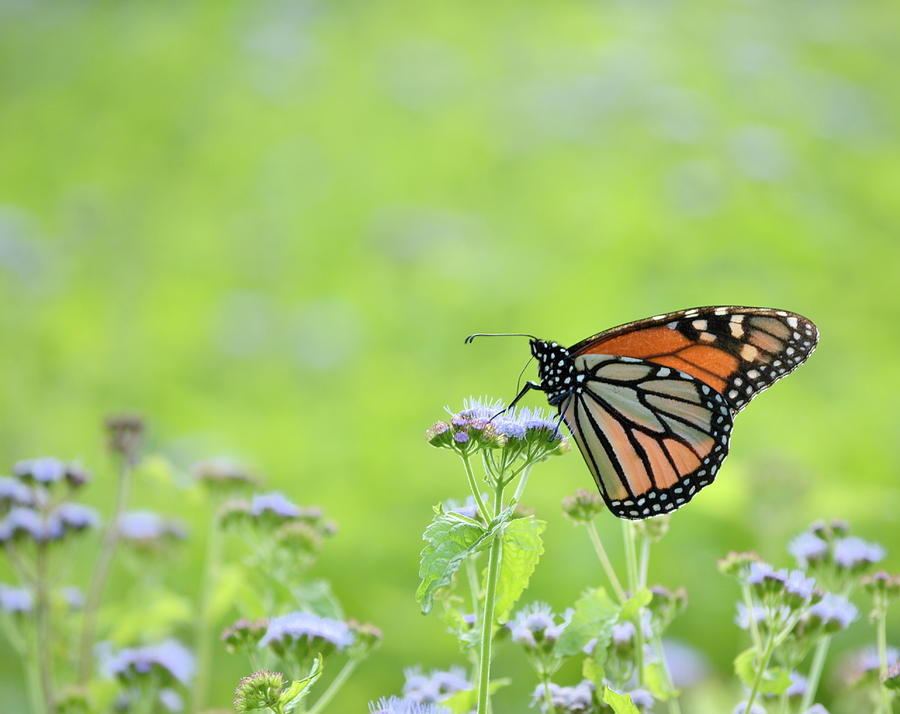 Orange Photograph - Monarch And Mist by JD Grimes
