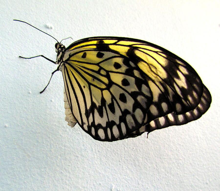 Butterflie Photograph - Monarch Butterflie by Joyce Woodhouse