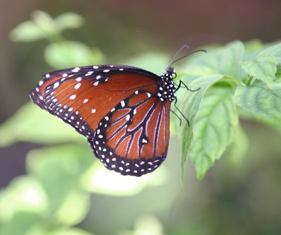 Monarch Butterfly Photograph - Monarch Butterfly by Andrea  OConnell