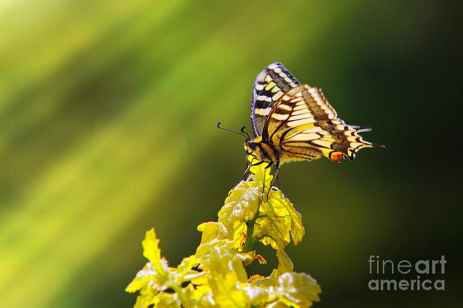 Antenna Photograph - Monarch Butterfly by Carlos Caetano