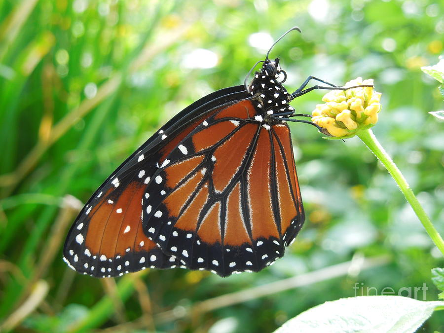 Monarch Butterfly Photograph - Monarch Butterfly by Chad and Stacey Hall