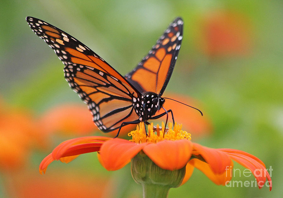 Monarch Photograph - Monarch Butterfly Macro by Jack Schultz