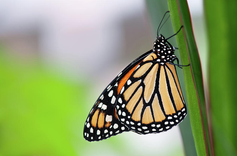Horizontal Photograph - Monarch Butterfly On Leaf by Pndtphoto