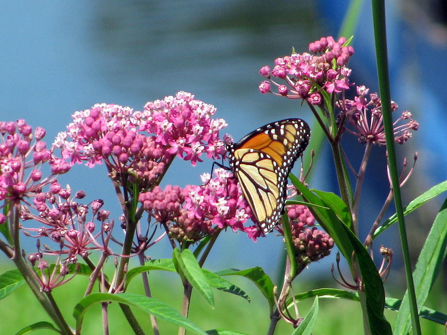 Monarch Butterfly On Pink Flowers Photograph by Corinna Garza