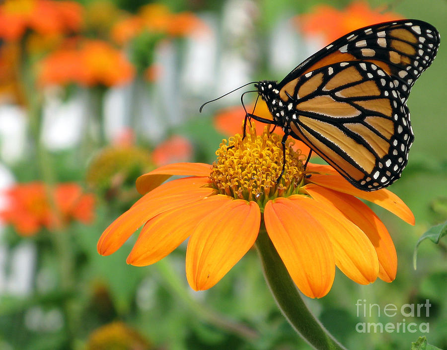monarch butterfly on tithonia flower photograph by jack
