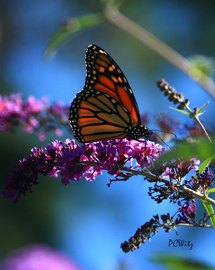 Butterfly Photograph - Monarch Butterfly by Patrick Witz