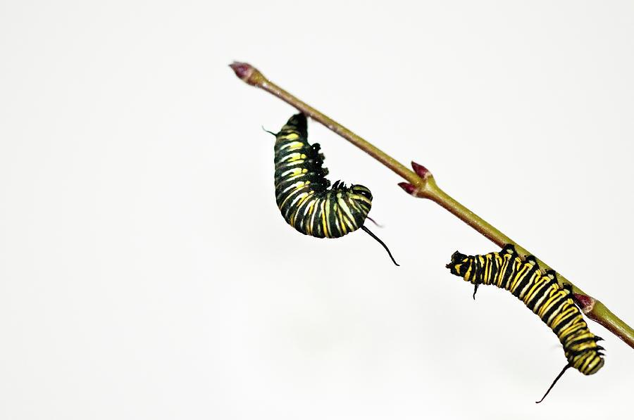 Horizontal Photograph - Monarch Caterpillar by Jim McKinley