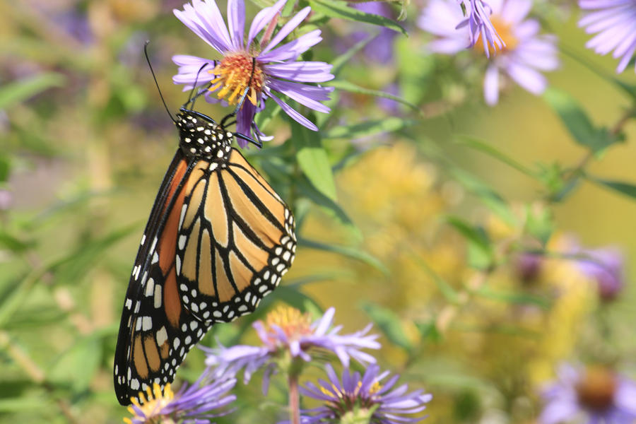 Butterflies Photograph - Monarch profile one by Alan Rutherford