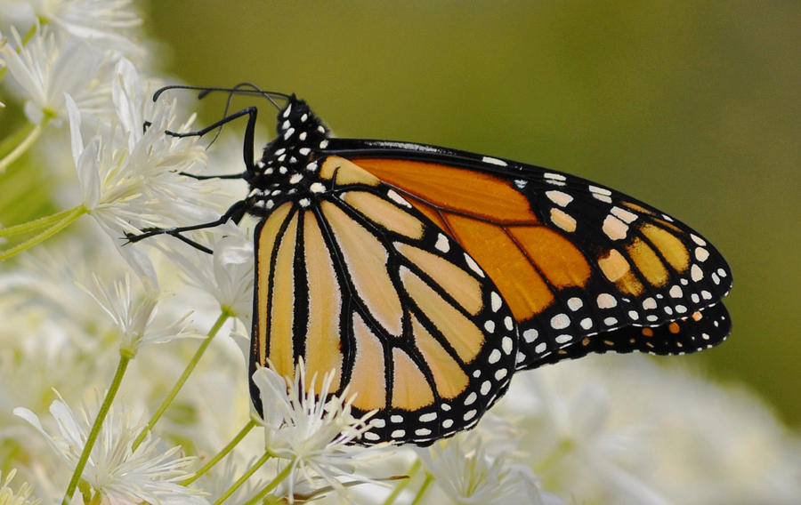 Butterfly Photograph - Monarch  by Rodney Campbell