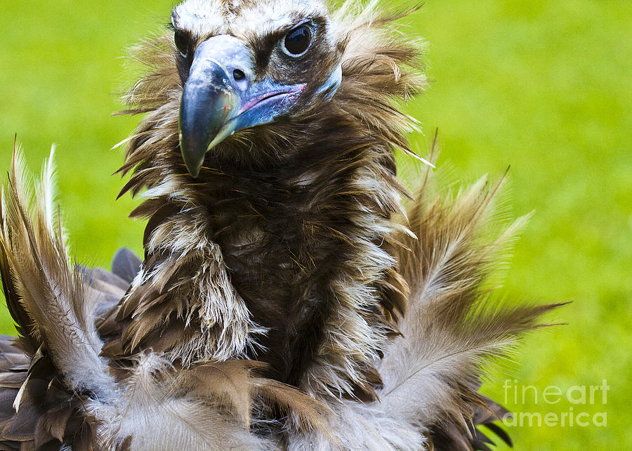 Black Vulture Photograph - Monk Vulture 5 by Heiko Koehrer-Wagner