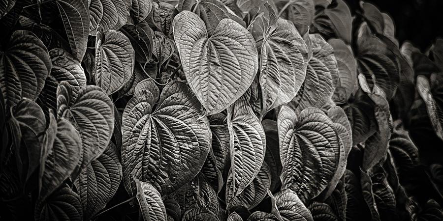 Vines Photograph - Monkey Vine by Brenda Bryant