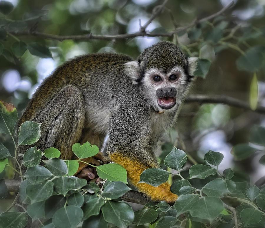 Squirrel Monkey Photograph - Monkeying Around by Saija  Lehtonen