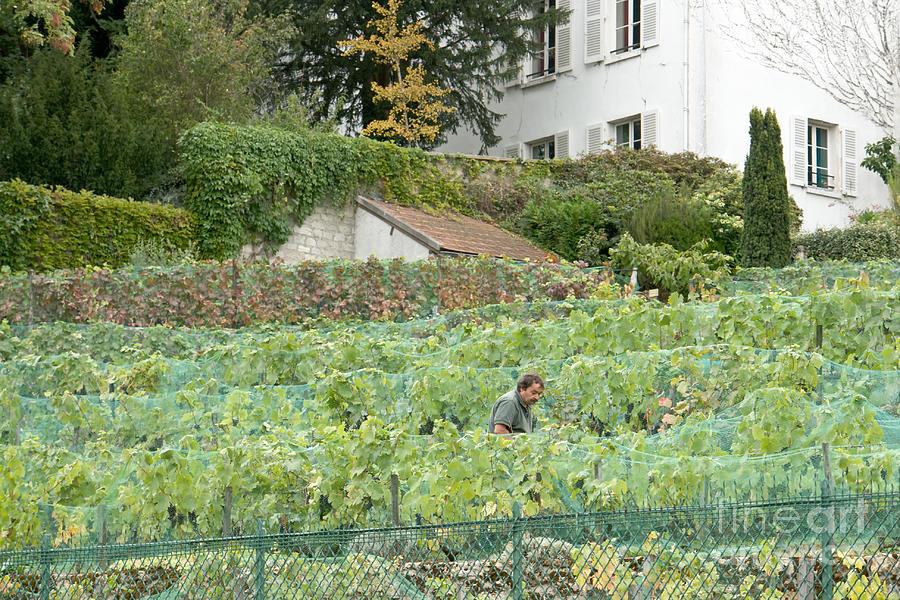 Montmartre vineyard by Fabrizio Ruggeri