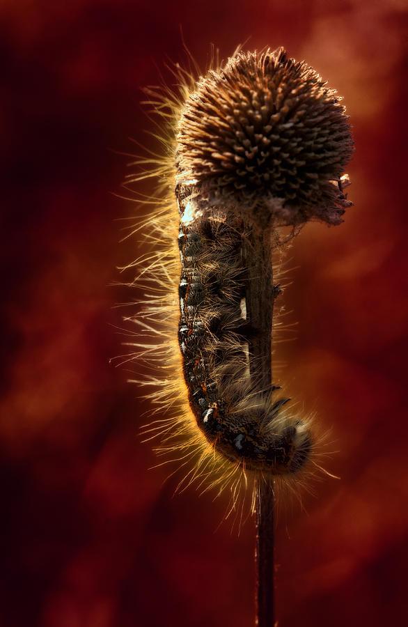 Caterpillar Photograph - Moody Red Tent Caterpillar by Bill Tiepelman