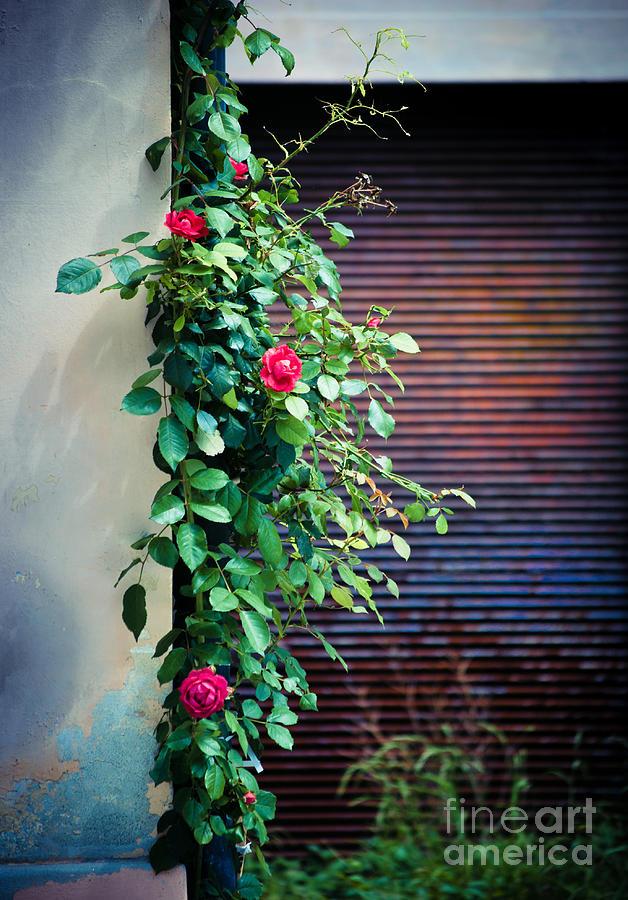 Flora Photograph - Moody Roses by Silvia Ganora