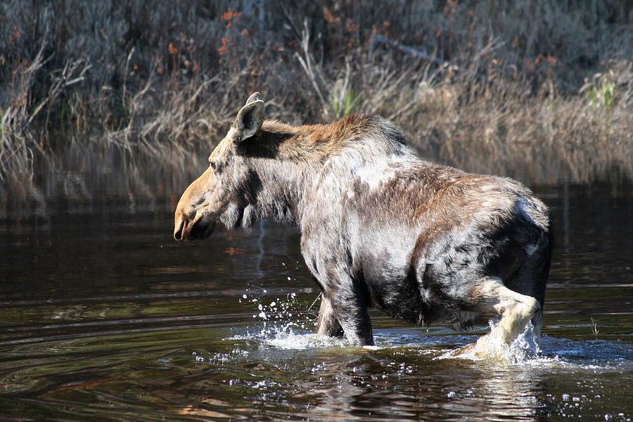 Moose Photograph - Moose crossing pond by Dr Carolyn Reinhart